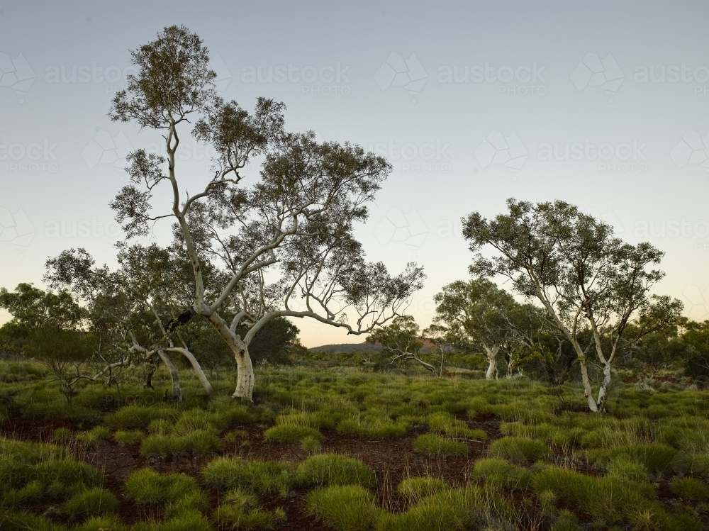 Spinifex and ghost gum at dusk in remote location - Australian Stock Image