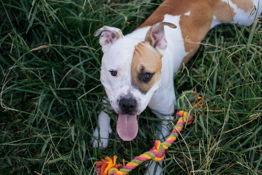 Staffy playing with rope toy - Australian Stock Image