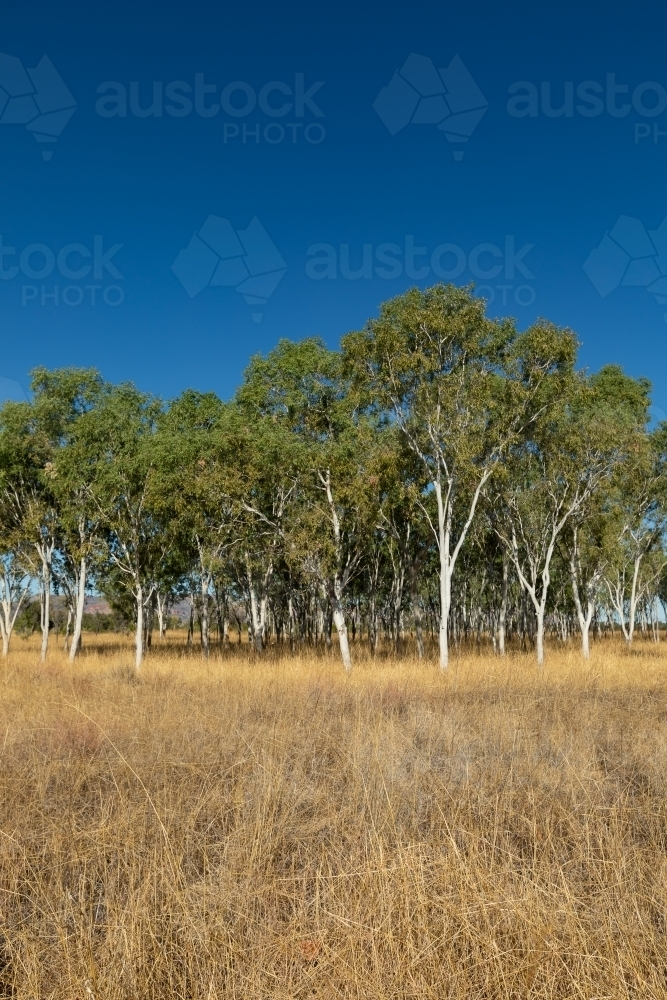 stand of ghost gum trees in dry grass with blue sky - Australian Stock Image