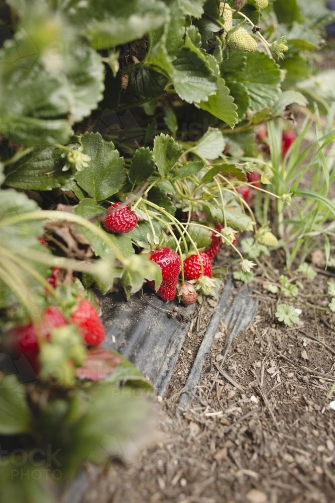 Strawberries growing at strawberry farm - Australian Stock Image