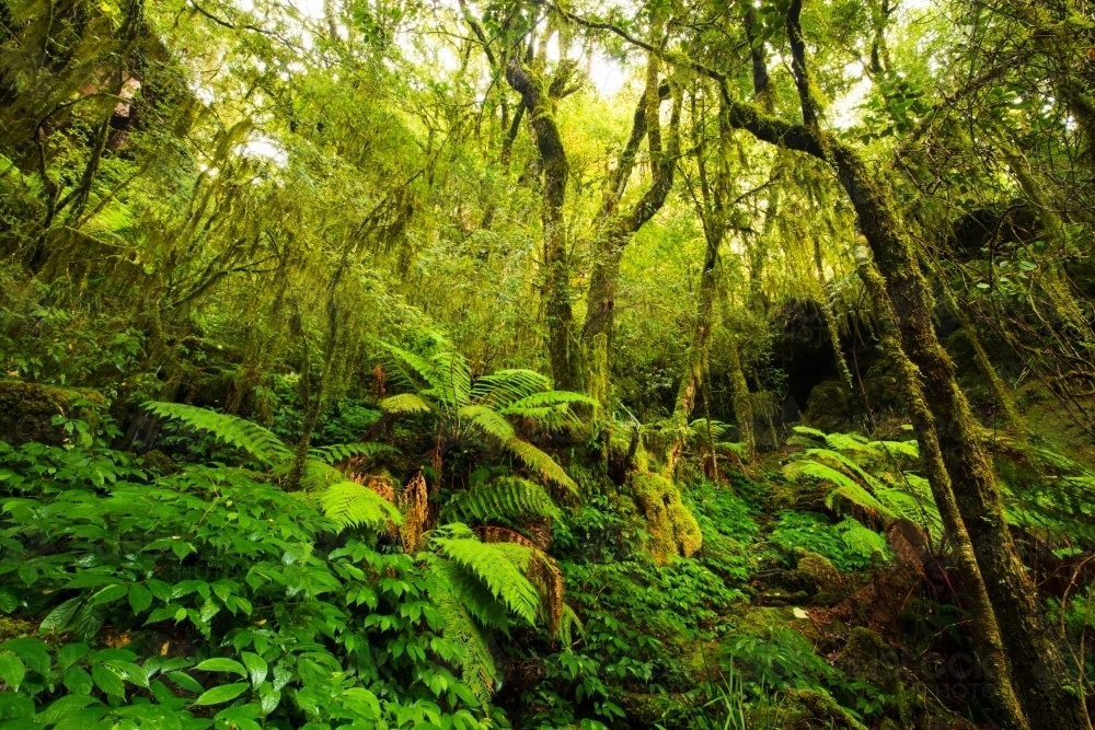 Subtropical rainforest of the New England area - Australian Stock Image