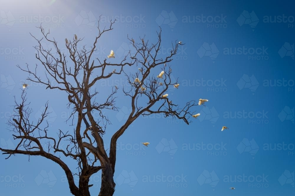 Sulfur crested cockatoos leave the roost - Australian Stock Image