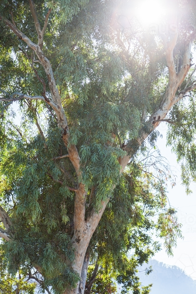 Sun flare through thick leaves of gum tree - Australian Stock Image
