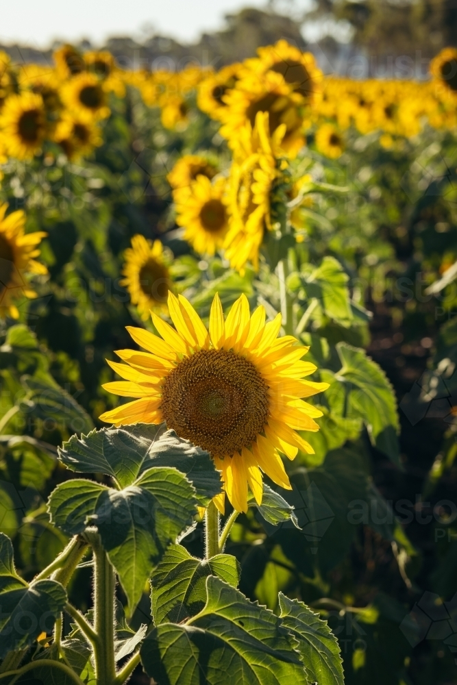 Sunflower close up in field - Australian Stock Image