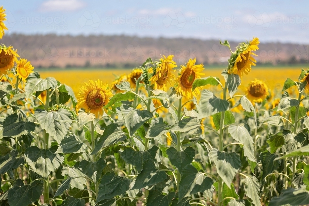 Sunflower Fields Allora Queensland - Australian Stock Image