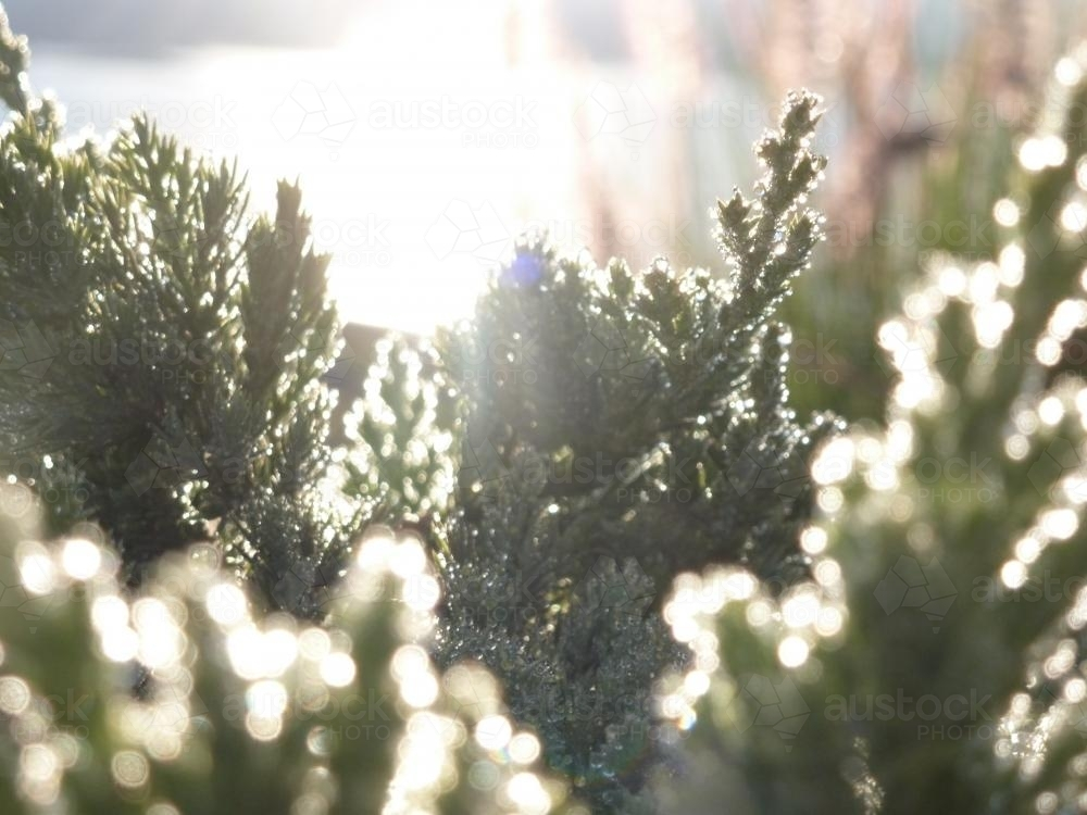 Sunlight on frosted plants in the early morning - Australian Stock Image