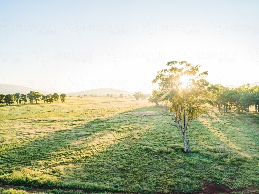 Sunlight shining through a gum tree in farm paddock - Australian Stock Image
