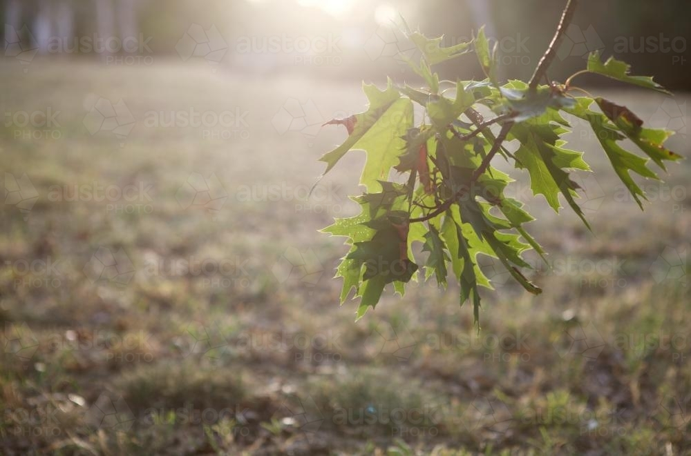 Sunlight shining through the leaves of an oak tree at sunset - Australian Stock Image