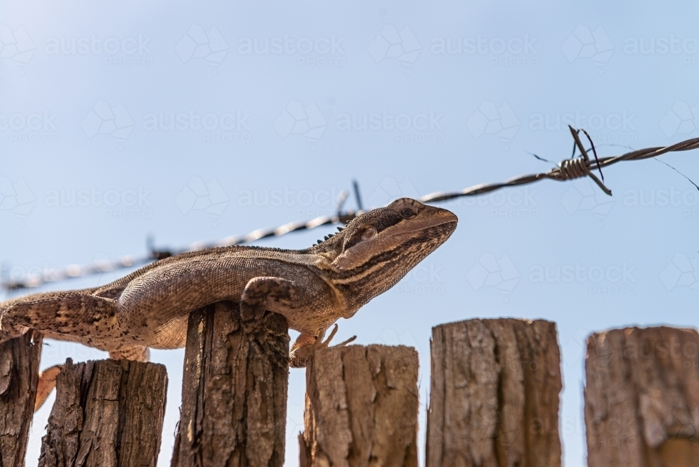 Ta Ta Lizard on fence - Australian Stock Image