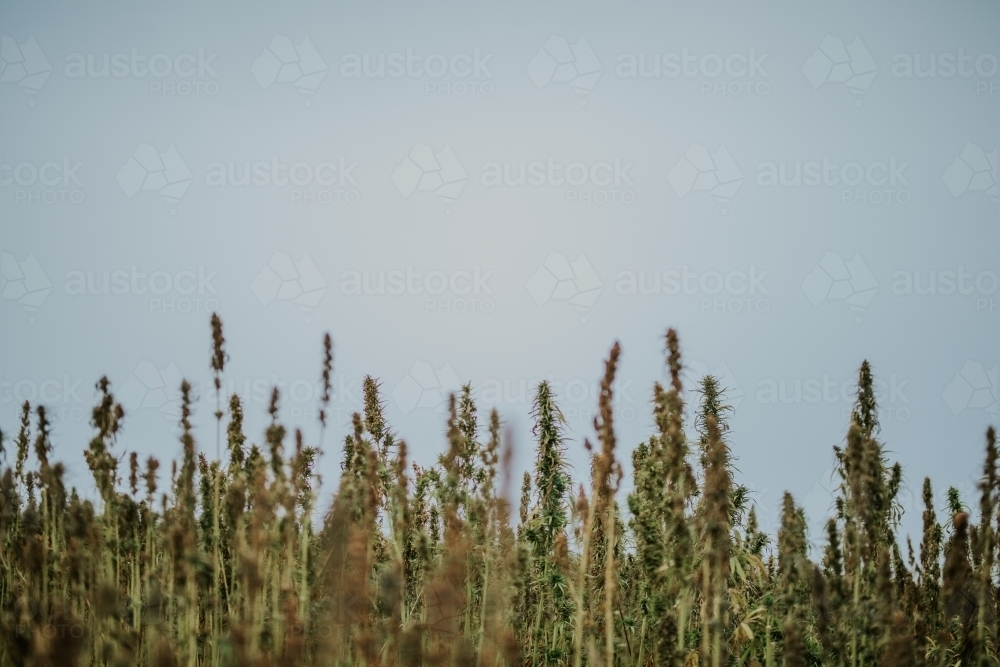 Tasmanian grown Hemp - Australian Stock Image