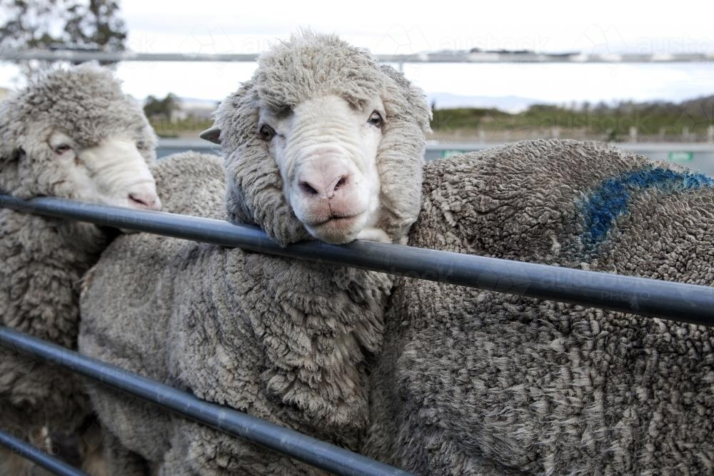 Three sheep in a sorting pen - Australian Stock Image