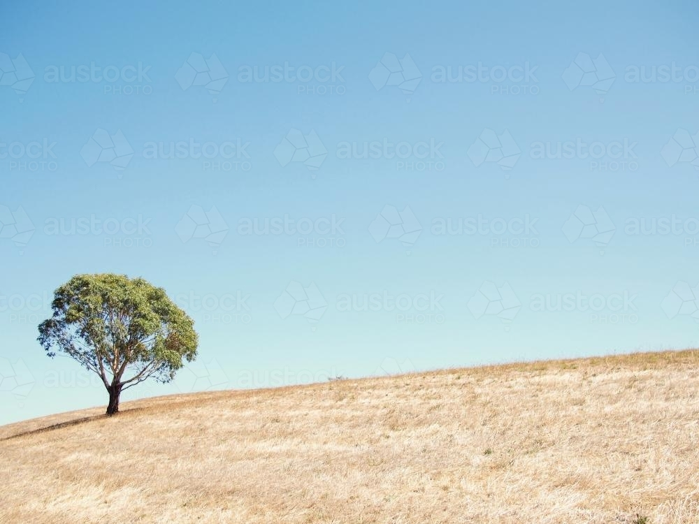 Tree on a hill with a blue sky - Australian Stock Image