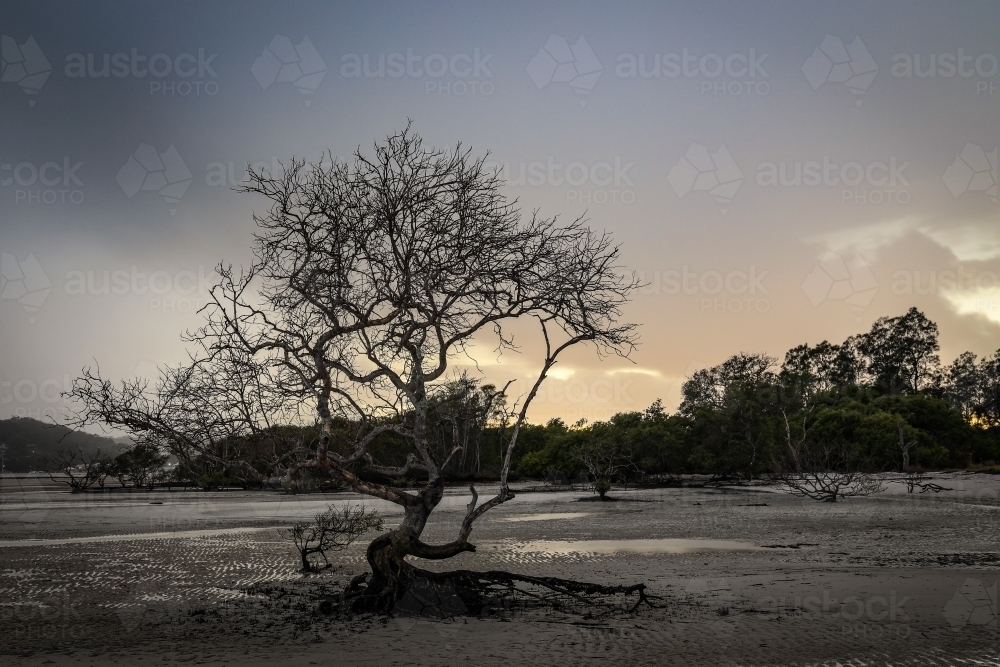 Tree with no leaves against ocean at low tide - Australian Stock Image