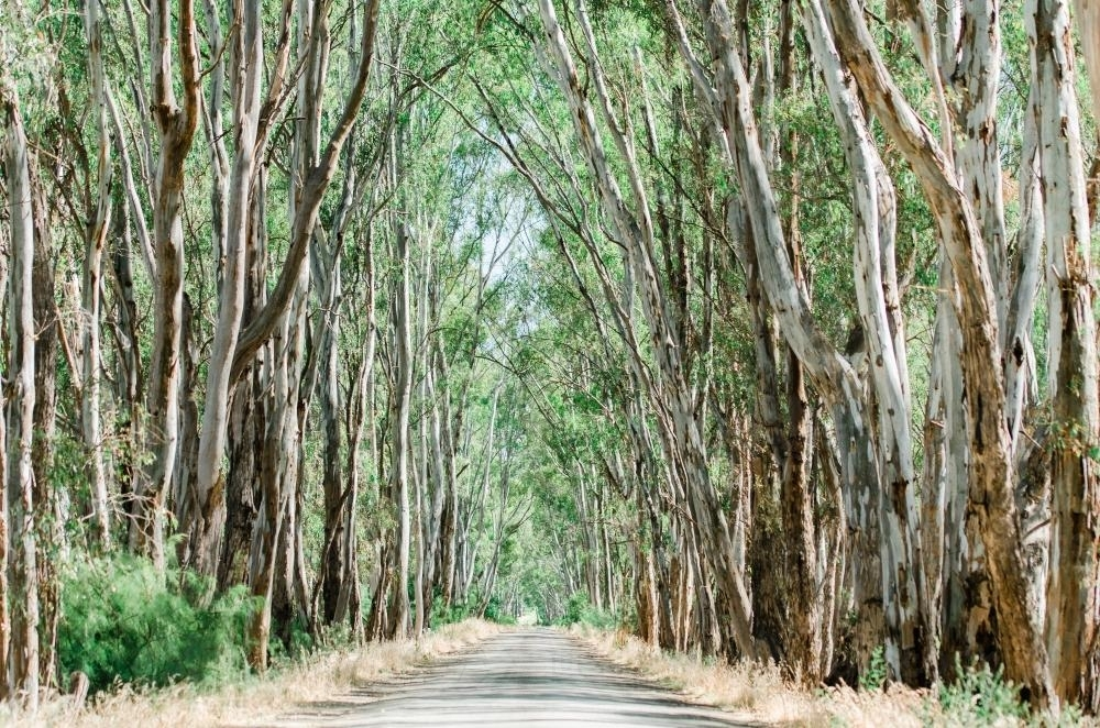 Trees Forming a Canopy above a Gravel Road in the Country - Australian Stock Image