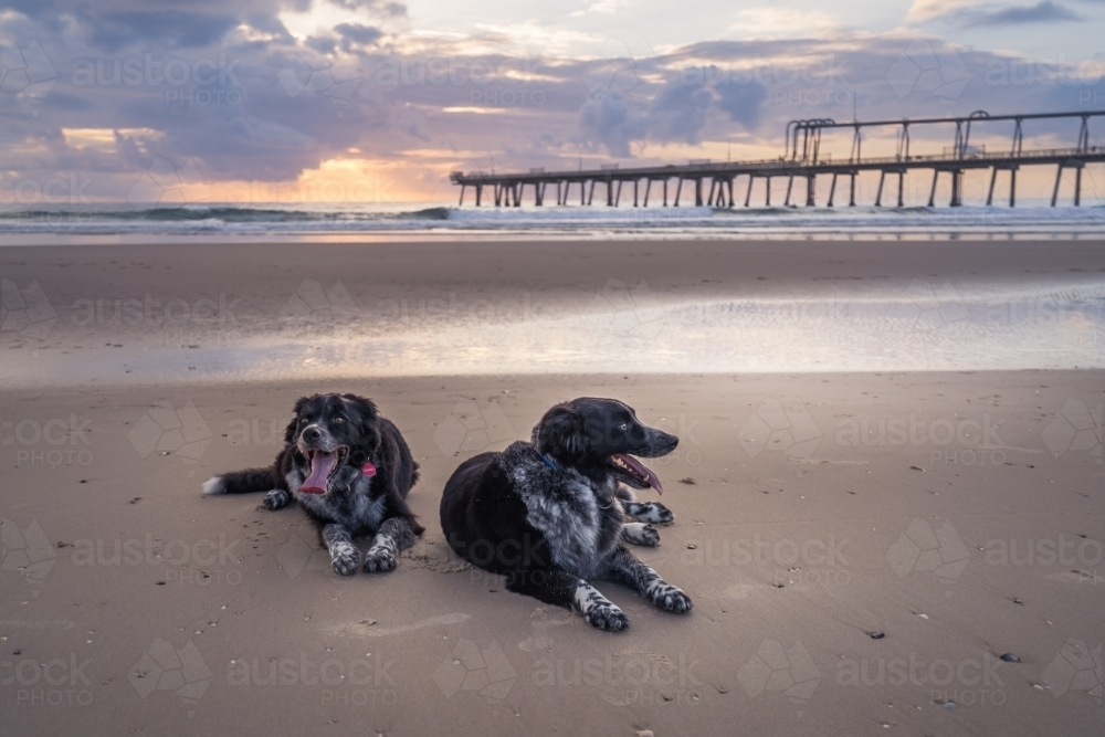 Two dogs resting on beach at sunrise - Australian Stock Image