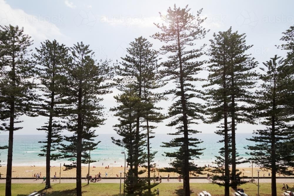 View of Manly surf beach through the pine trees along the beachfront - Australian Stock Image