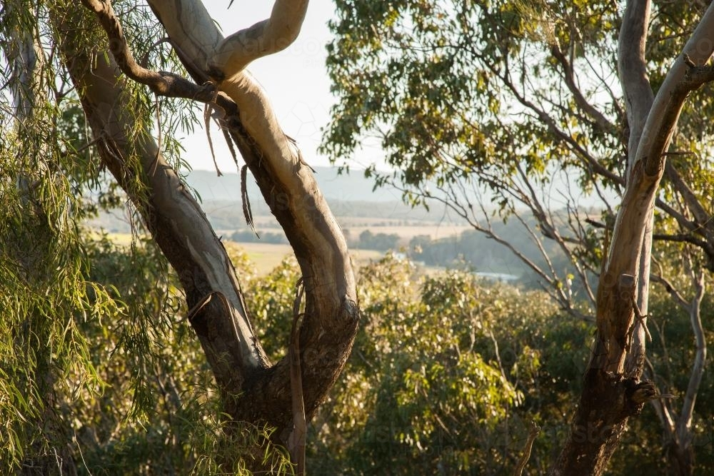 View of rural land through branches and gum leaves - Australian Stock Image