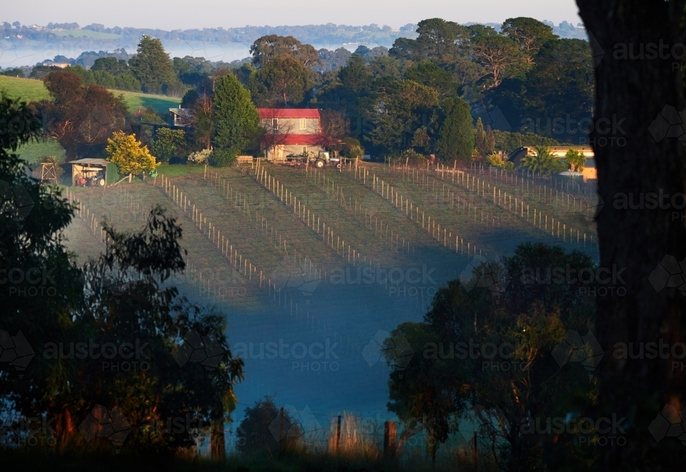 Vineyard and Farmhouse on a Hill - Australian Stock Image