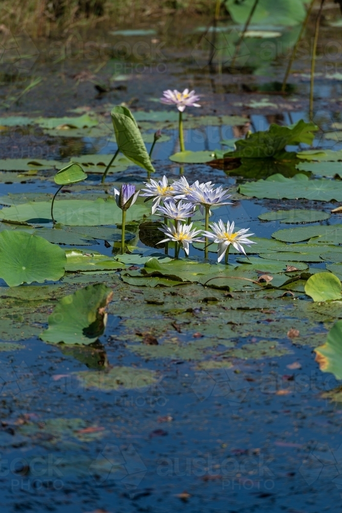 Water Lilies at Fogg Dam - Australian Stock Image