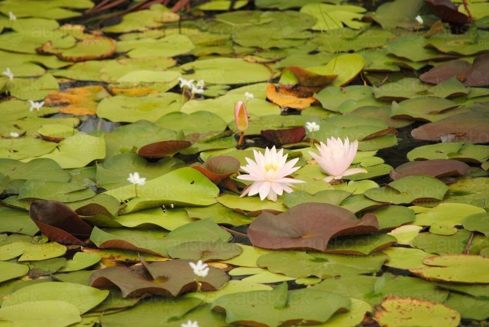 Waterlilies in a pond - Australian Stock Image