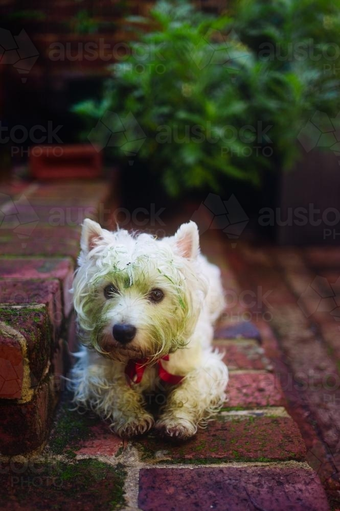 West highland terrier with a green face after discovering fresh cut lawn at the park - Australian Stock Image