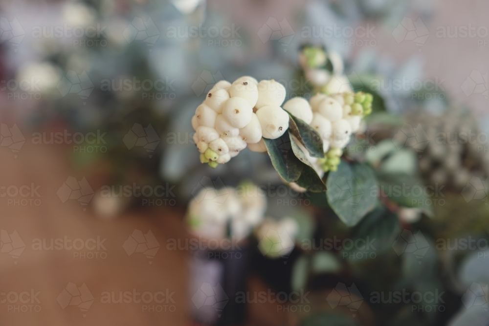 White and green native plants - Australian Stock Image