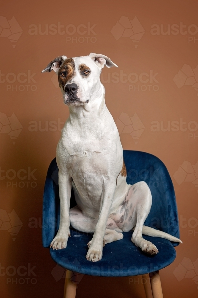 White and patched bull arab sitting on velvet chair - Australian Stock Image
