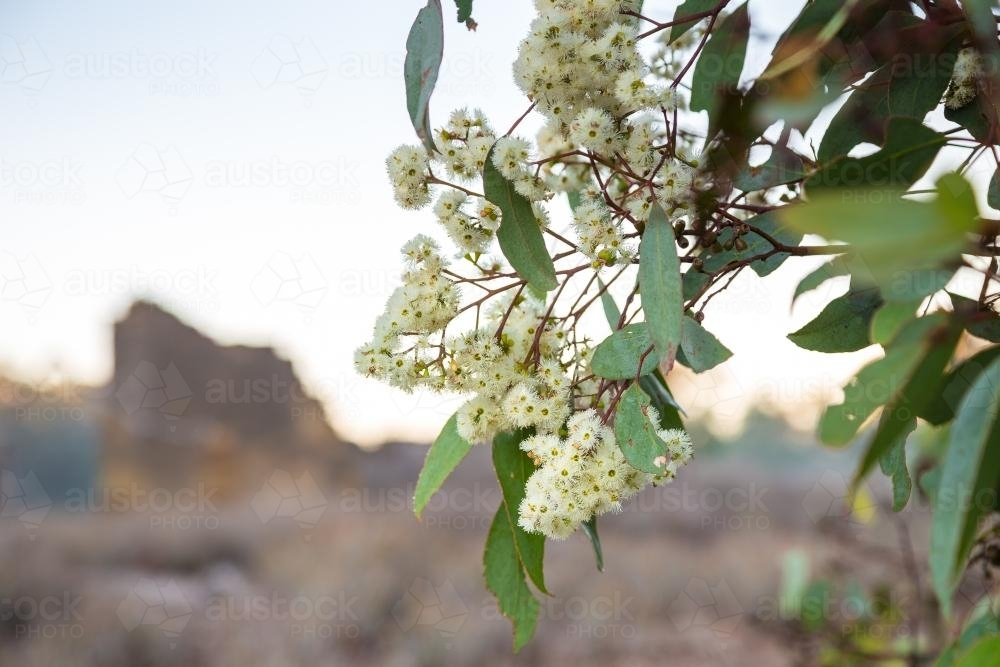 White blossom on a flowering eucalyptus tree - Australian Stock Image
