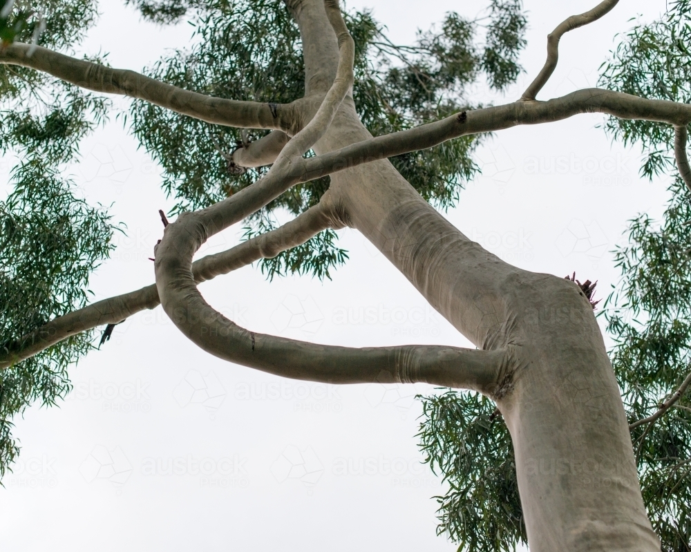 White gum tree with a large, curved branch