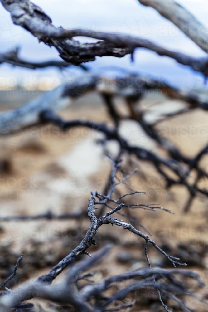 Wild and twisted branches on a tree in the outback - Australian Stock Image