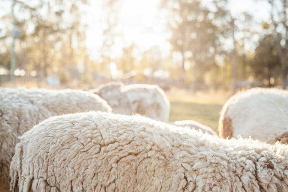 Woolly back of a dorper sheep on a sunny morning - Australian Stock Image