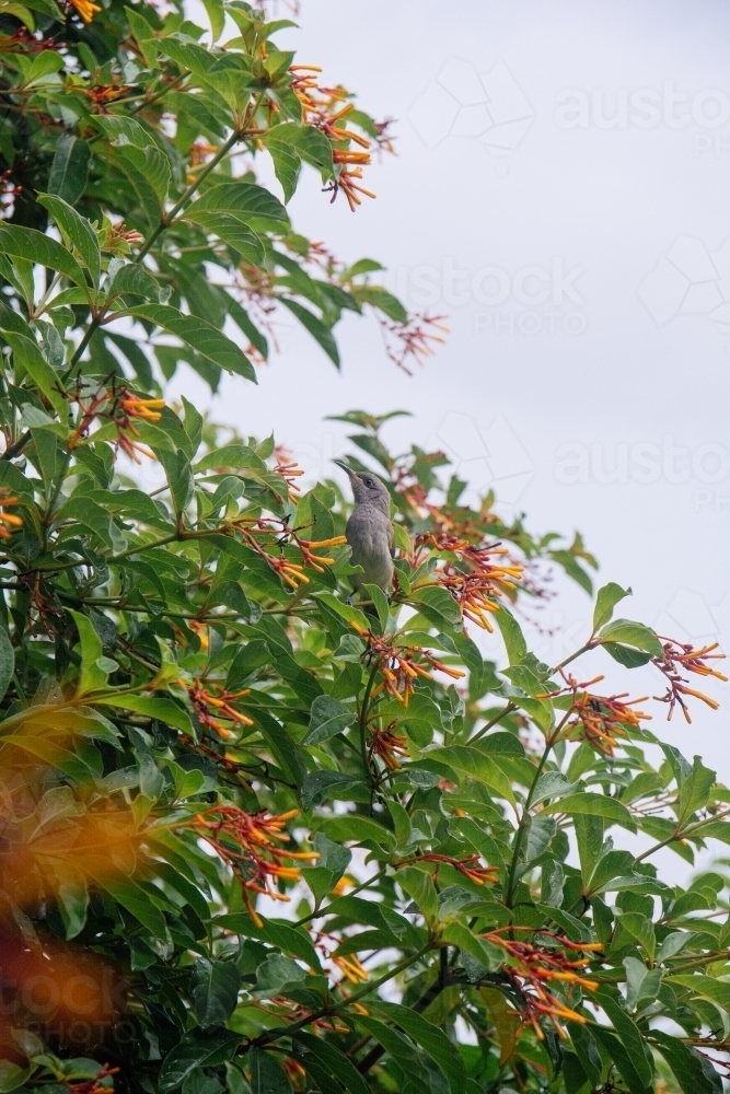 Yellow-faced Honeyeater in tree - Australian Stock Image