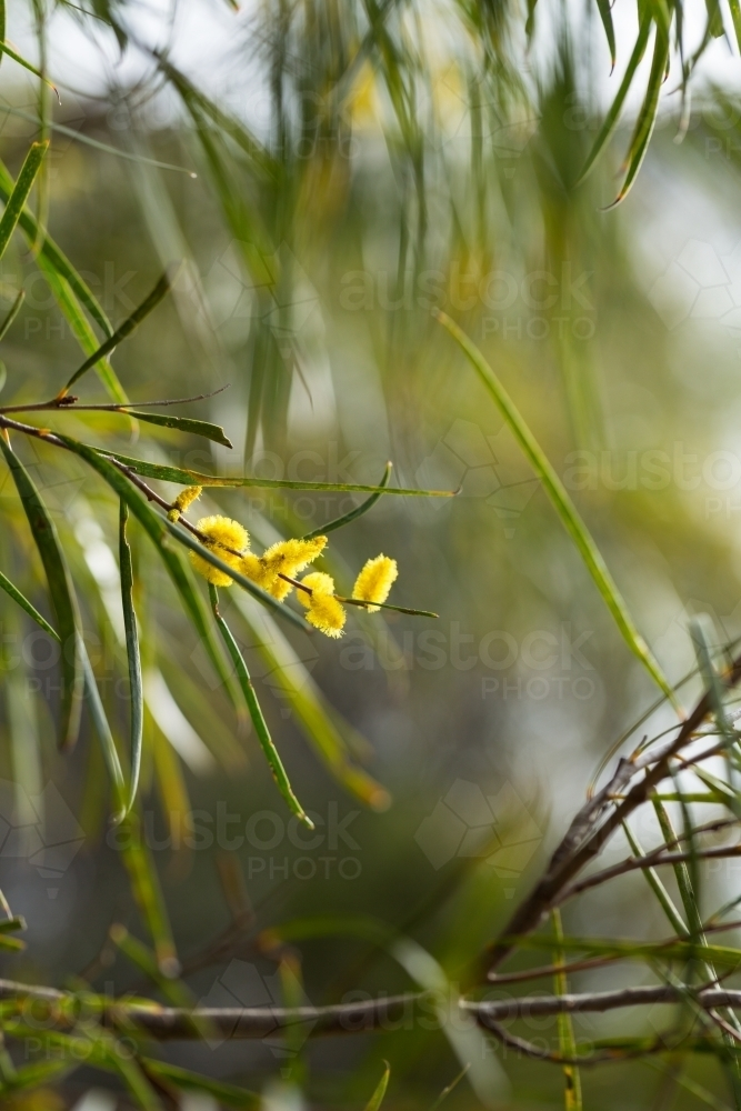 Image Of Yellow Flowers On Acacia Acuminata Jam Tree Austockphoto