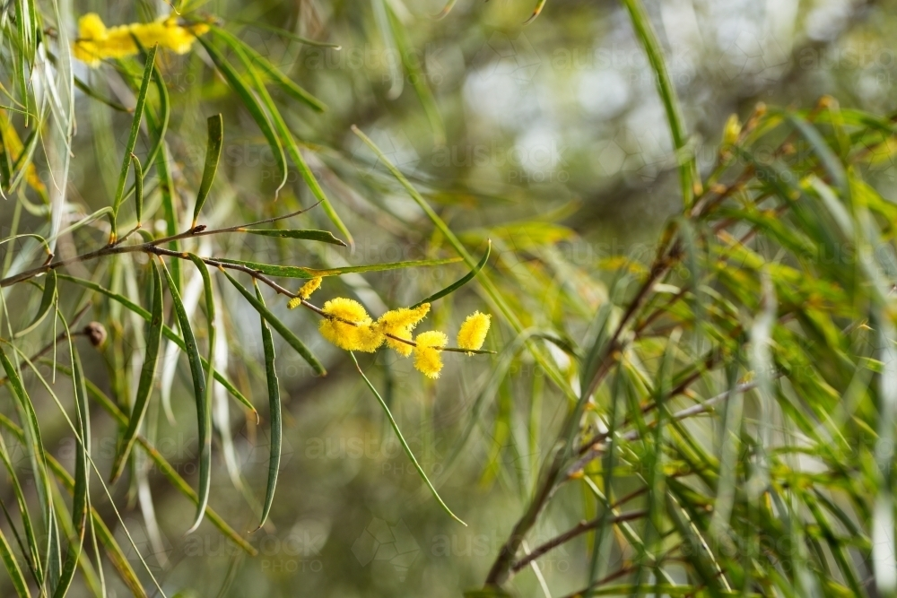 Image of yellow flowers on tree with narrow leaves austockphoto yellow flowers on tree with narrow leaves australian stock image mightylinksfo
