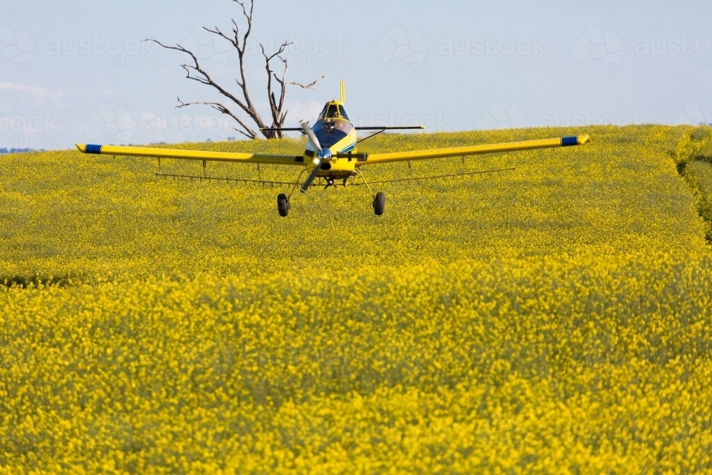 yellow plane used for crop dusting applying fungicide to a canola crop - Australian Stock Image