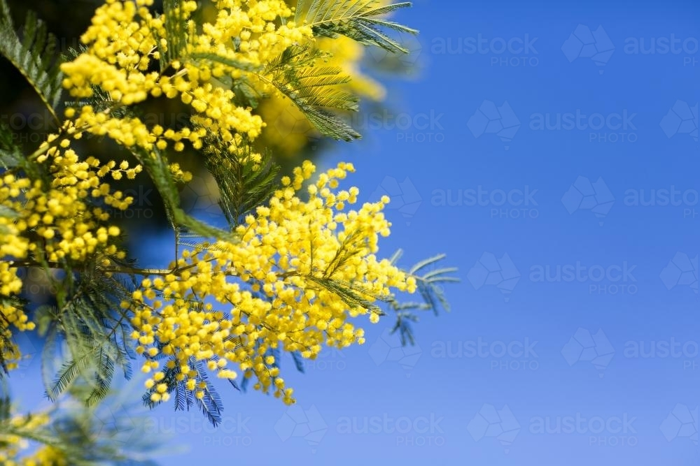 image of yellow wattle flowers against blue sky