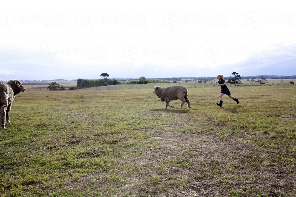 Young girl chasing sheep in paddock on the farm - Australian Stock Image