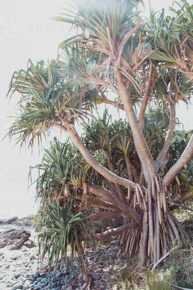 Yucca on a pebble beach - Australian Stock Image