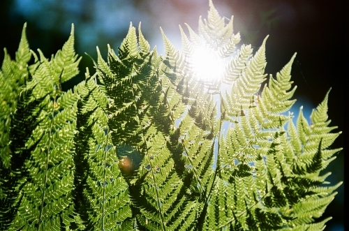 Close up of green fern leaves with sun flare