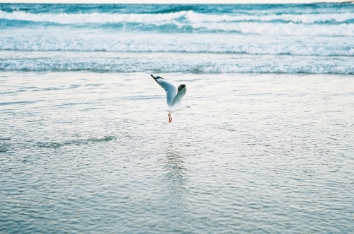 Seagull Taking off over water