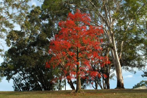 Striking red Illawarra Flame Tree (Brachychiton acerifolius)