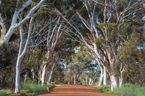 Gravel road lined with white gum trees