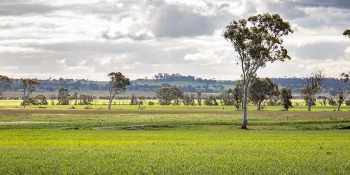 Wheatbelt landscape with green grass and white gums