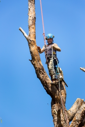 Tree climber in harness with ropes up a tree