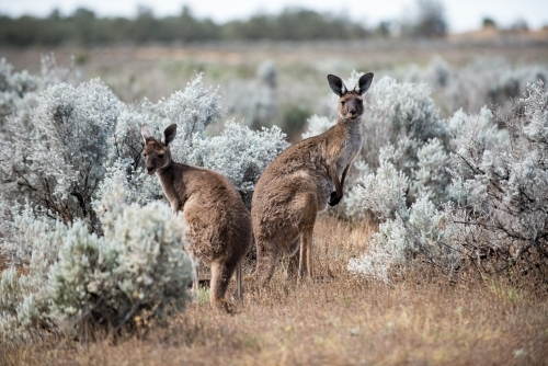 2 Kangaroos standing looking at camera