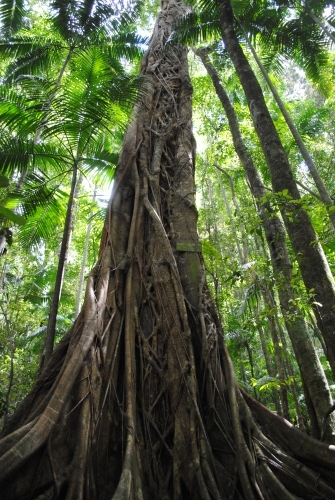 Strangler fig and tall green trees in the rainforest