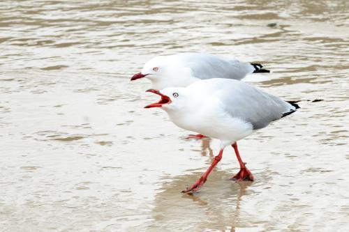 A pair of silvergulls or seagulls behaving aggressively