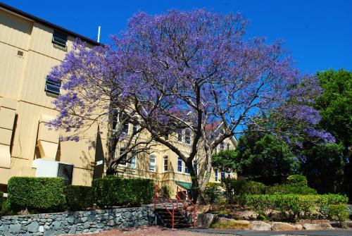 Flowering jacaranda tree in Spring Hill, Brisbane