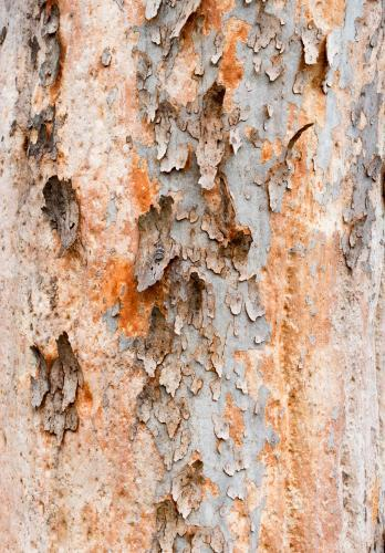 Close up detail of angophera tree trunk with peeling bark revealing pink and orange colour