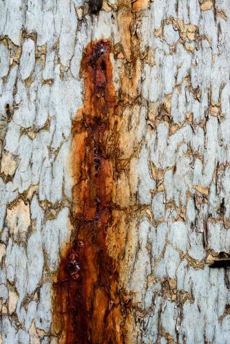 Close up of patterned tree trunk with dark orange sap running down